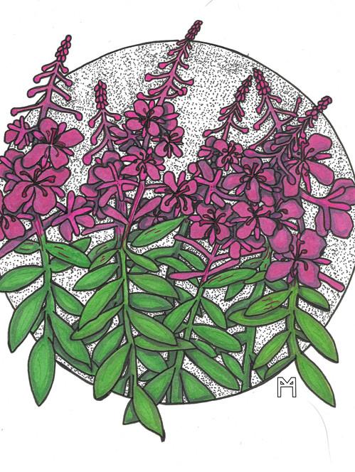 Fireweed bloom