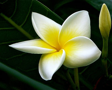 plumeria-frangipani-tempelbaum-5fc11988-
