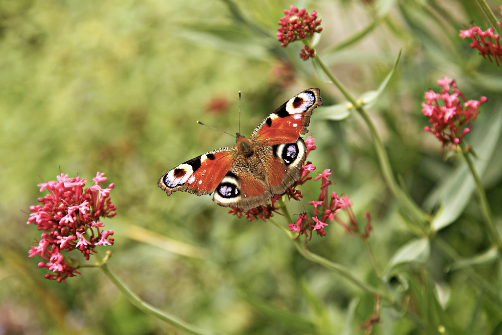 color photo of a bright colored peacock butterfly resting on a spring flower on the green background