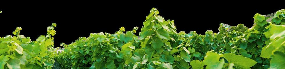 vineyard-leaves-v3.png