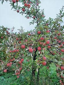organic-fertilizer-nurture-growth-apple-