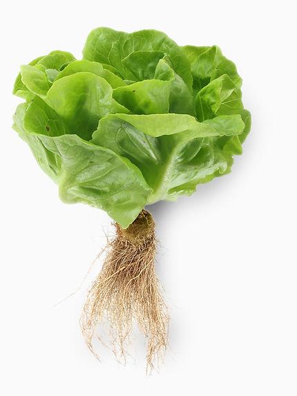 organic-fertilizer-lettuce-roots-700px.j