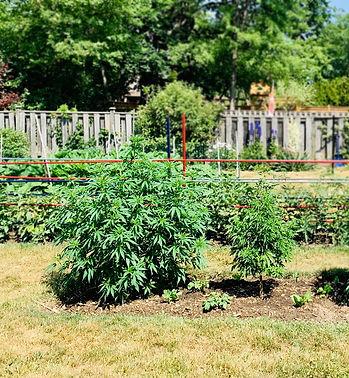 organic-fertilizer-cannabis-before-nurtu