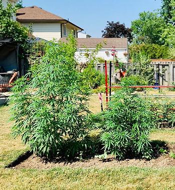 organic-fertilizer-cannabis-after-nurtur