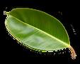 Leaf-4-smaller-300.png