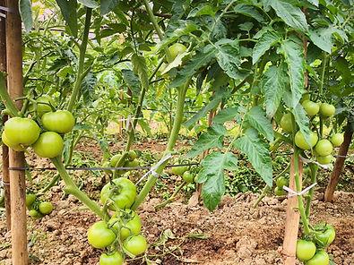 organic-fertilizer-canadian-tire-tomatoe