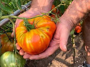 organic-fertilizer-tomatoes-2-testimonia