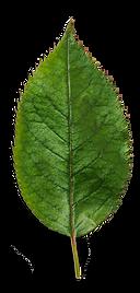 Plant-Leaf.png