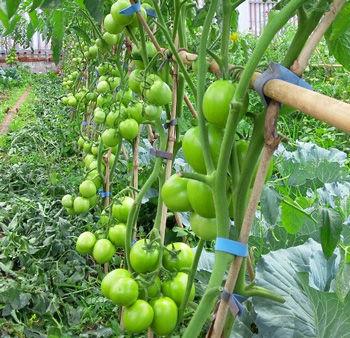organic-fertilizer-tomatoes-after-nurtur
