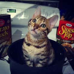 Purebred Bengal Kitten Breeder Washington State