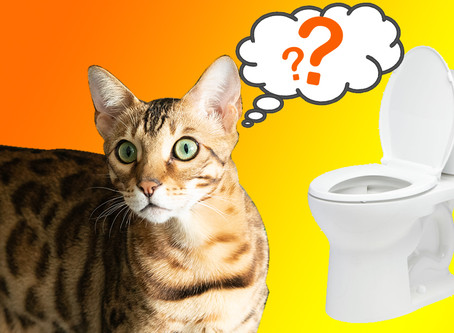 Train Your Bengal To Use The Toilet!