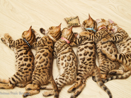 Are Bengal Cats really wild?