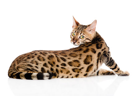 Bengal cat looks back. isolated on white