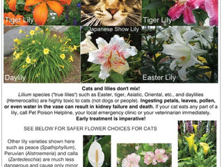 Beware of Easter Lilies! and all lilies…