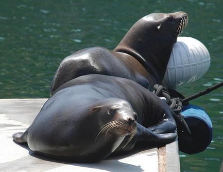 harbor-seals-marina-del-rey-ike-karamehm