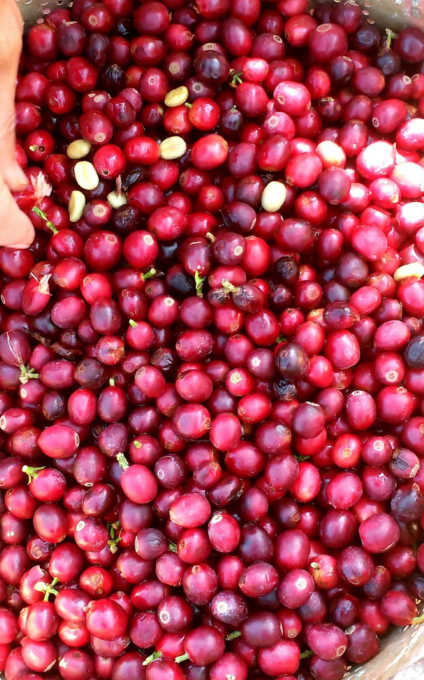 커피 열매