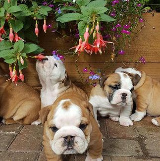 pups 5 weeks in garden.jpg