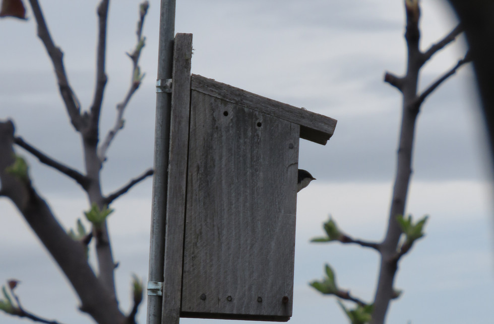 Tree Swallows returned May 2018 and comp