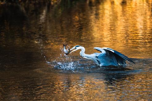 Grey Heron catching a trout V/V, Erfurt, Dec/2020