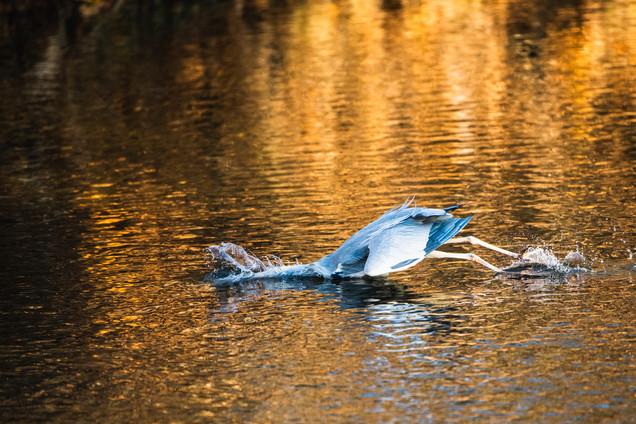 Grey Heron catching a trout III/V, Erfurt, Dec/2020