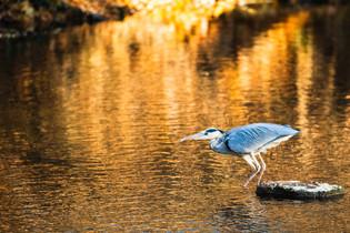 Grey Heron catching a trout I/V, Erfurt, Dec/2020