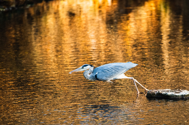 Grey Heron catching a trout II/V, Erfurt, Dec/2020