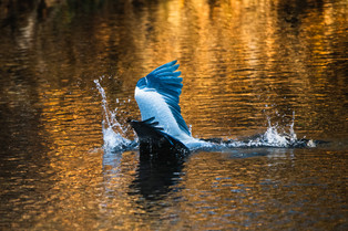 Grey Heron catching a trout IV/V, Erfurt, Dec/2020