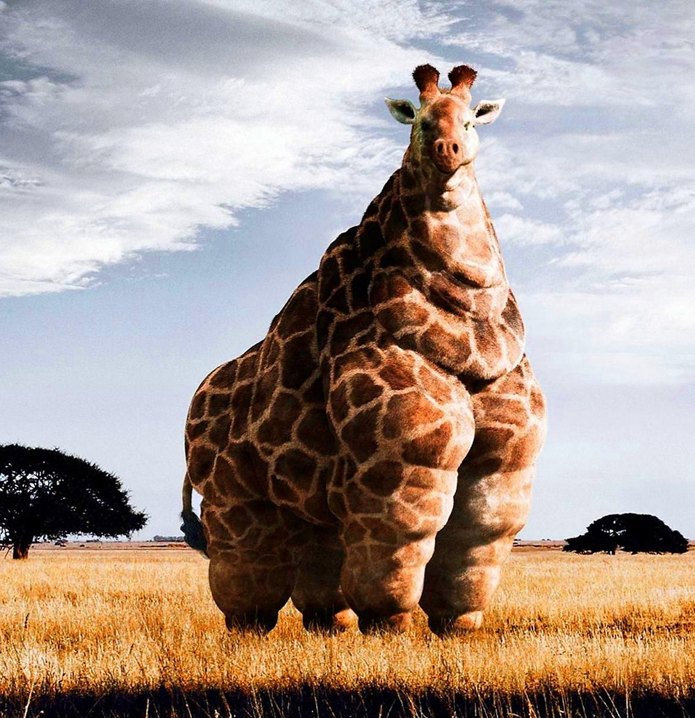 A very, very flabby bodied giraffe that is funny to look at but certainly photoshoped