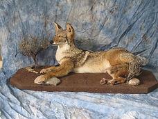 Coyote1-1453332821.jpg