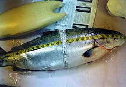 MT-Meas-Fish-pic-1.jpg