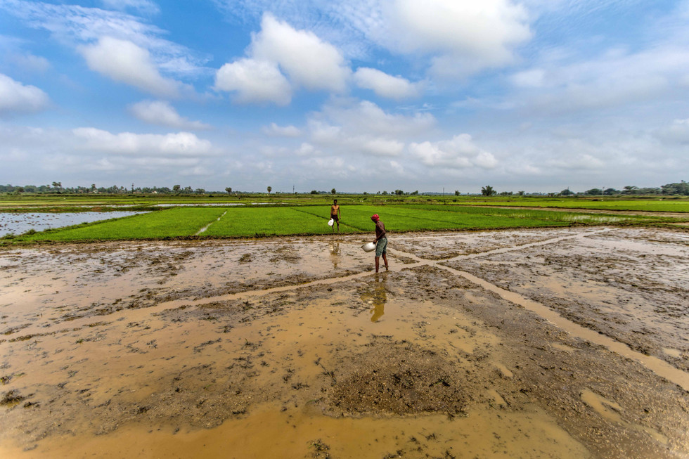 Sowing of paddy