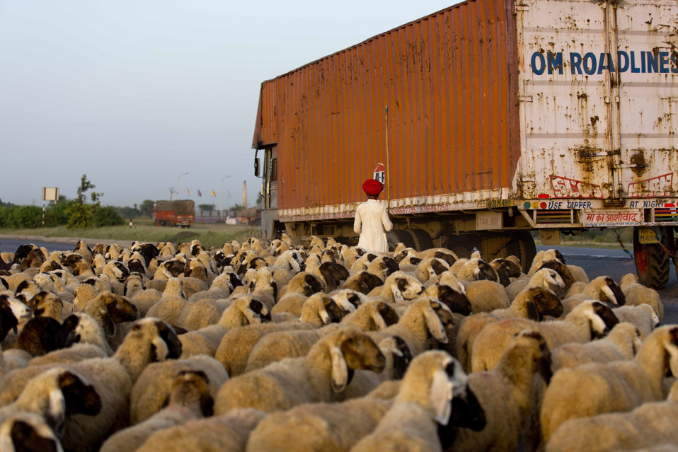 Sheep crossing- Rajasthan