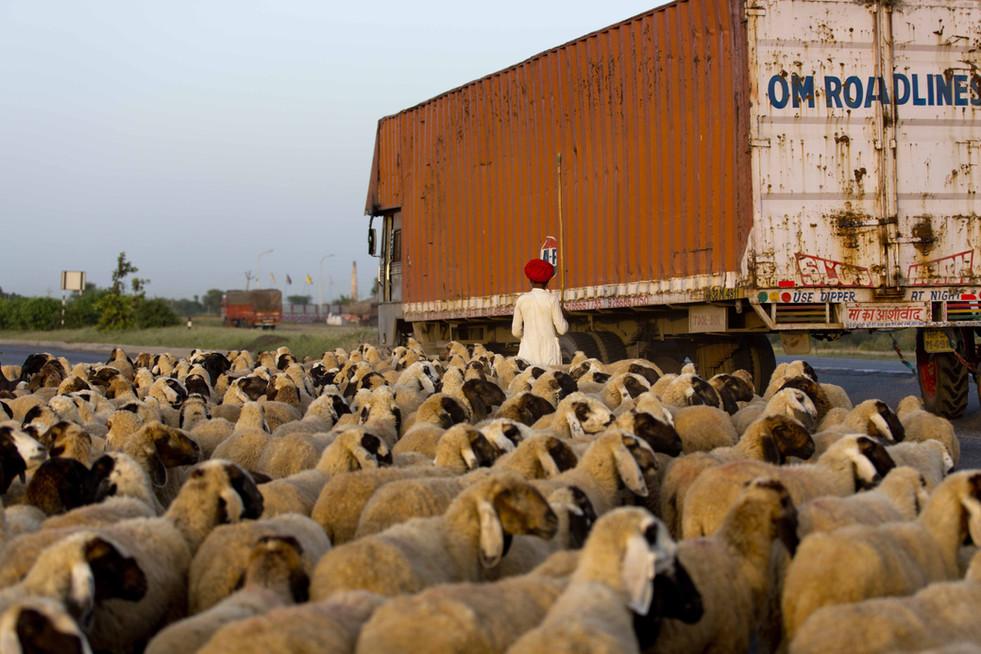 Sheep crossing- Rajasthan