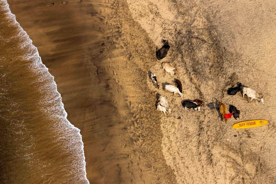 Beaching cattle, Goa