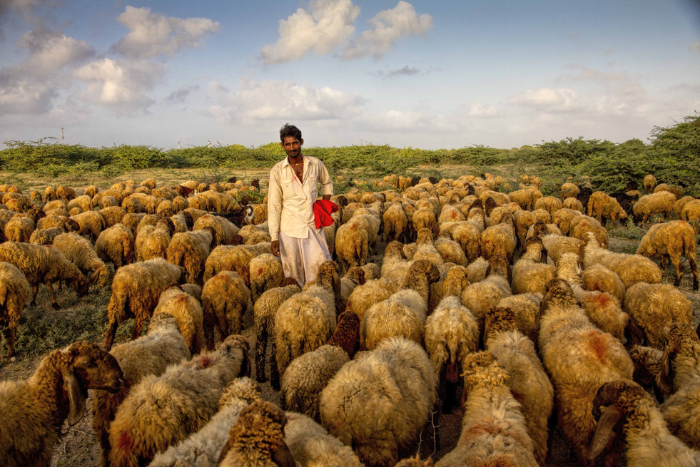 Rabaris with his cattle