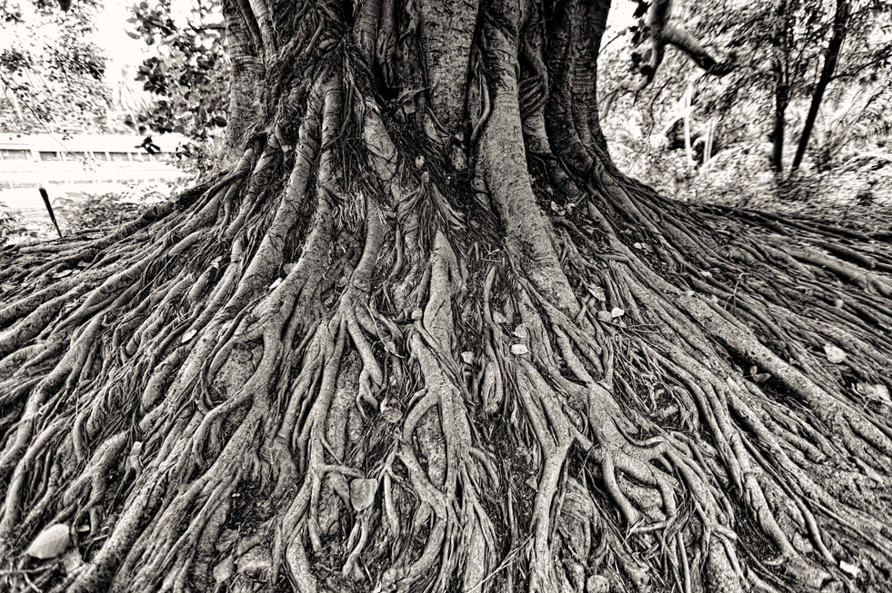 Roots of an old Peepal Tree