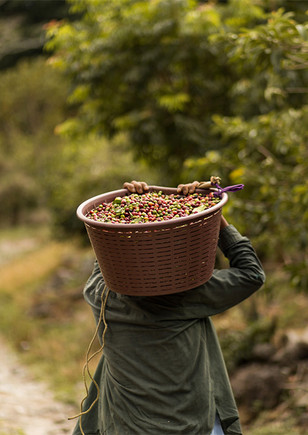kaffeebauer-picking-single-origins-kaffe