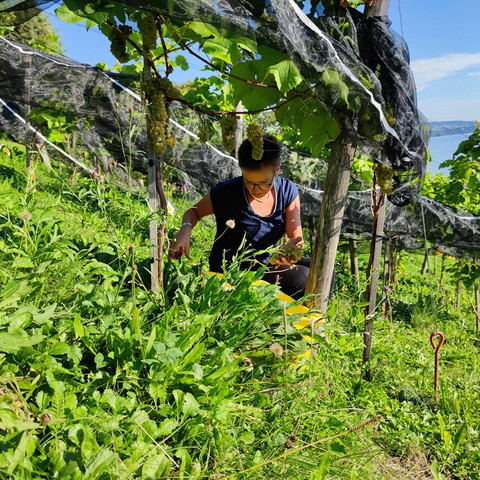 Frau bei der Traubenernte beim Rebberg Seehotel Kastanienbaum