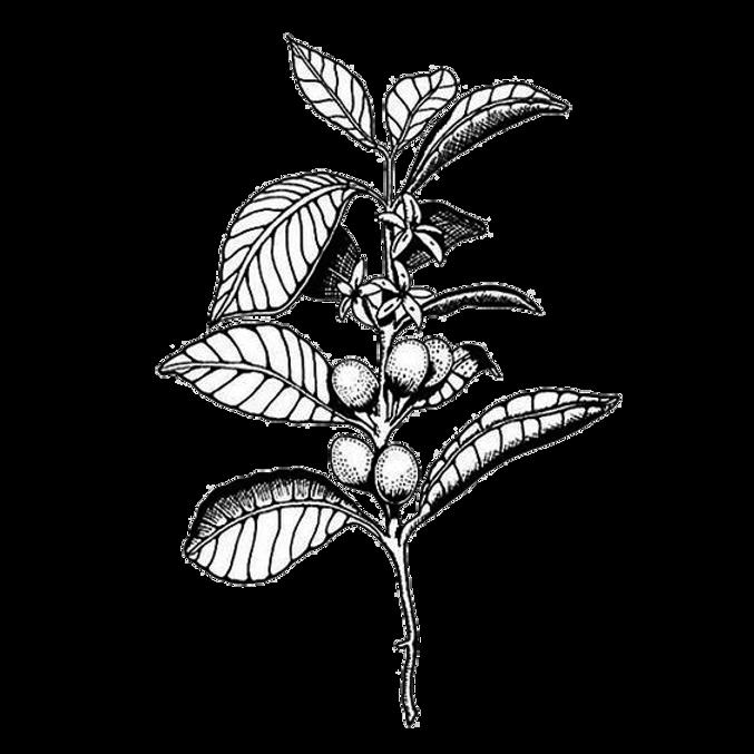 coffea pflanze.png