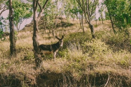 Esel auf der Insel Santiago in Kap Verde