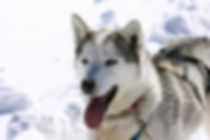 dogsledding breckenridge beaver creek vail keystone colorado activities frisco copper mountain