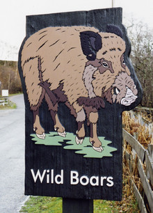 HWP Boar.jpg