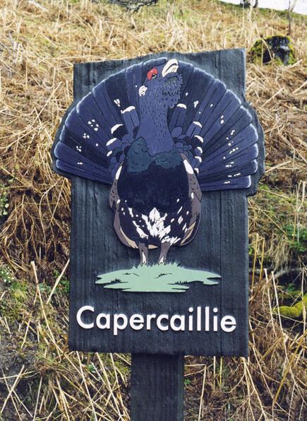 HWP Capercaillie.jpg