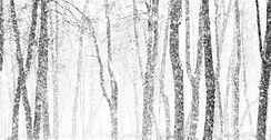 Snowy Trees Transparent