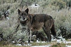 Final Wolf (1 of 1).jpg
