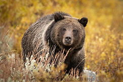 Grizzly Final 2.jpg