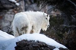 Final Mountain Goat (1 of 1).jpg