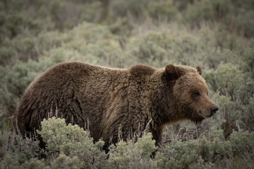 Grizzly Bear in Lamar Valley
