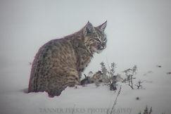 Final Bobcat-132946.jpg