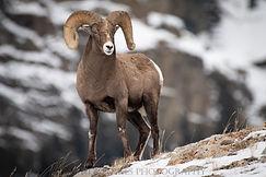 Final Bighorn Sheep (1 of 1).jpg